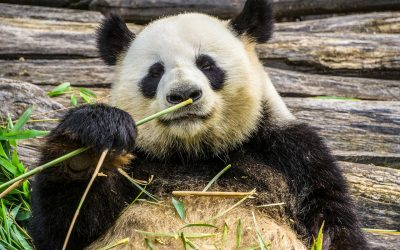 Google Panda Climbs up the Global Ladder But what are the Effects?